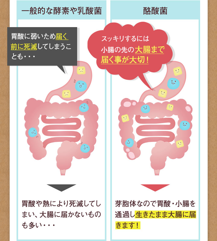 一般的な酵素や乳酸 遺産や熱により死滅してしまい、大腸に届かないものも多い・・・ / 酪酸菌 芽胞体なので胃酸・小腸を通過し生きたまま大腸に届きます!